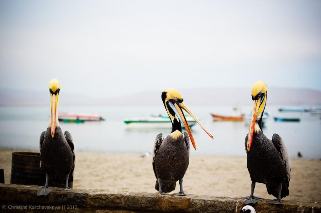 Перу [8]: Паракас — 50.000 птушак і таямнічыя знакі