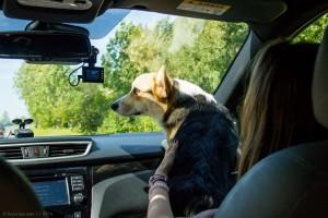 корги, собака, озеро нарочь, нарочь, путешествие, беларусь, по беларуси на автомобиле