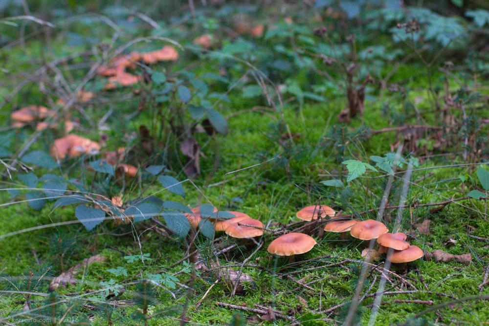 по грибы в германии, вестфалия, NRW, немецкий лес, лес в Германии